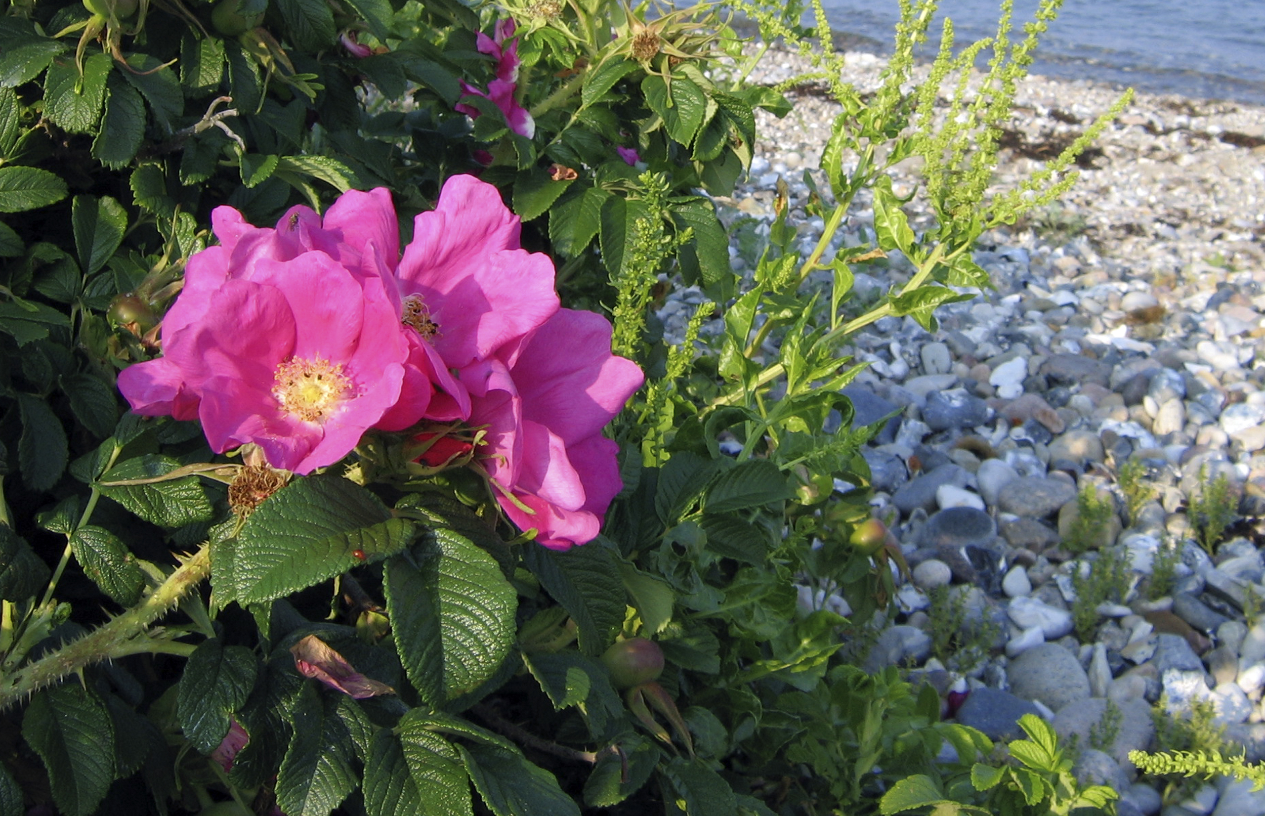 Lav rosensaft af hybenrosen